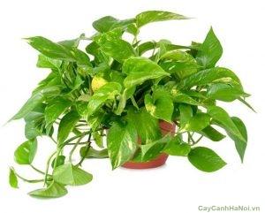Trầu Bà là loại cây mang đến sự may mắn, thành đạt và sự bình an cho gia chủ