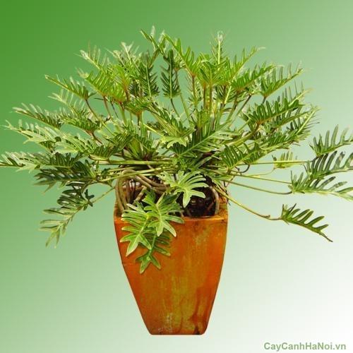 cây Trầu Bà lá xẻ là loại cây mang đến nhiều may mắn, niềm vui, tài lộc cho mình và người thân