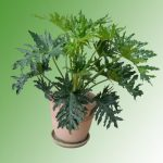 Cây Trầu Bà lá xẻ có khả năng lọc không khí, phù hợp trồng những nơi không khí ít lưu thông