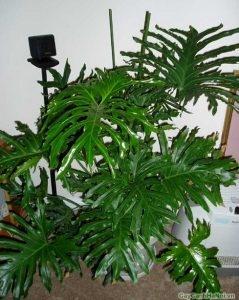 Cây Trầu Bà lá xẻ là loại cây rất dễ chăm sóc