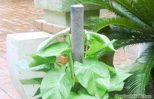 Lá cây Trầu Bà leo cột có màu xanh lục đậm.