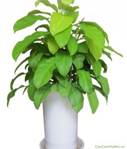 Cây Trầu Bà leo cột là loại cây mang tính phong thủy cao.