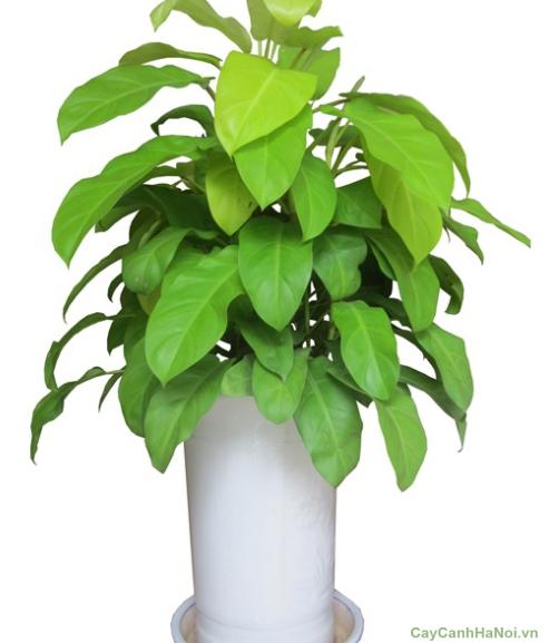 Trầu Bà Leo cột là loại cây cảnh nội thất thích hợp trong việc trang trí văn phòng, khách sạn
