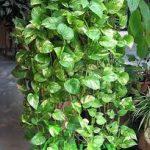 Cây Trầu Bà treo là loài cây thân thảo, dạng leo, có dạng tròn mập và mang nhiều rễ sinh lý