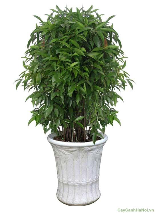 Đặc điểm hình thái cây Trúc Nhật