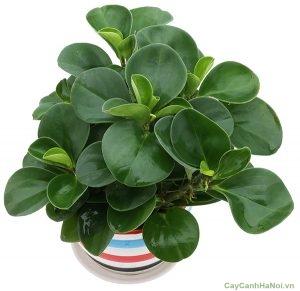 Cây Trường Sinh là một loài cây cảnh thường được sử dụng đặt trên bàn làm việc