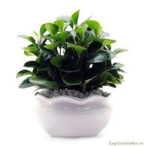 Lá cây có màu xanh lục, bóng với hình tròn xinh viên mãn. Hoa của cây có hoa màu trắng, dạng chuỗi, thời gian hoa nở từ tháng 12 đến tháng 4 năm sau