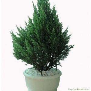 Cây được trồng trong chậu làm cây cảnh để bàn hay cây cảnh văn phòng hoặc trưng bày ở những nơi sang trọng