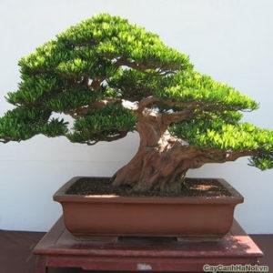 Lá cây Tùng Bồng Lai thường mọc nhiều, điều đặc biệt là bặt lá của cây nhỏ nhọn như cái gai, mọc quanh cành.