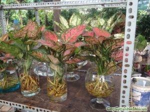 Cây Vạn Lộc là loại cây cảnh mang lại nhiều công đụng đặc biệt