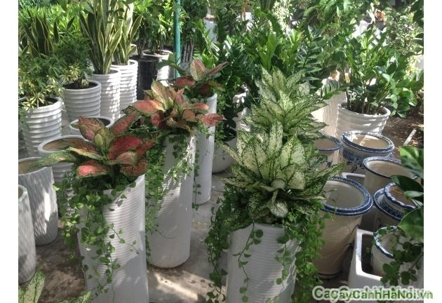 Cây Vạn Lộc là loài cây ứng với tài lộc, mang đến sự may mắn thinh vượng