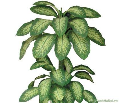 Có thể trồng cây trong sân vườn, công viên, trang trí ban công hay giàn hoa rất đẹp.