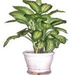 Là loại cây thân thảo sống nhiều năm, ngắn, rễ mập
