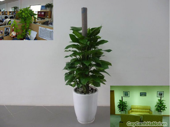 Vạn Niên Thanh Leo Cột là loại cây cảnh có sức sống mãnh liệt và được sử dụng rộng rãi làm cây cảnh