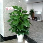 Cây Vạn Niên Thanh Treo là một trong những loại cây cảnh được nhiều người yêu thích