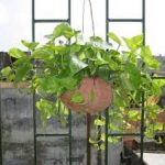 Chăm sóc cây Vạn Niên Thanh Treo