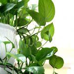 Vạn Niên Than Treo được sử dụng để trang trí và trồng ở nhiều nơi như cửa hàng