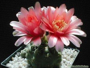 Hoa cây Xương Rồng rất đẹp