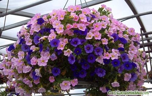 Kết quả hình ảnh cho hoa triệu chuông cay canh