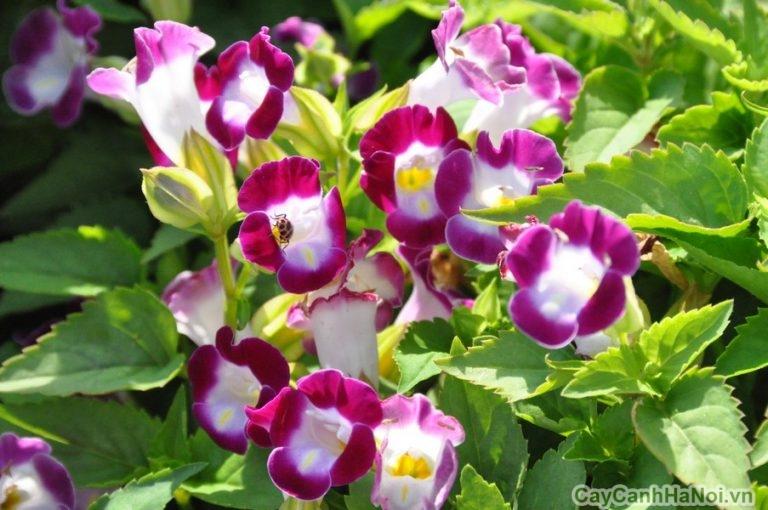 Hoa dâm bụt Thái