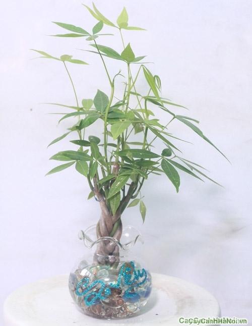 Cây Cau Tiểu Trâm thủy canh