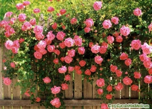 Cây hoa giấy
