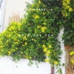 Hoa mai Hoàng yến