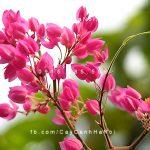 Hoa leo tigon